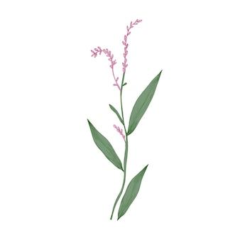 Pieprz wodny lub rdestowiec bagienny kwiaty i liście na białym tle.