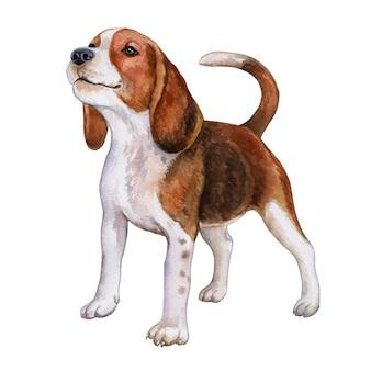 Pies beagle. akwarela