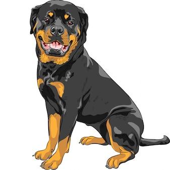 Pies rasy rottweiler