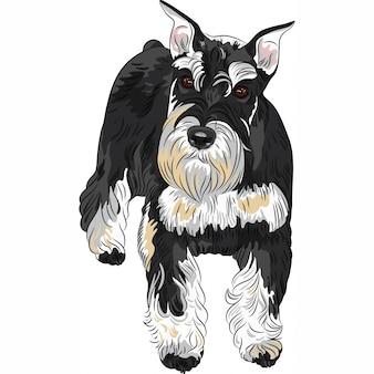 Pies rasy sznaucer miniaturowy w kolorze czarno-srebrnym