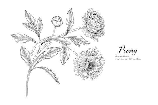 Piwonia kwiat i liść ręcznie rysowane ilustracja botaniczna z grafiką.