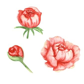 Piwonia wildflower różowe czerwone kwiaty zestaw akwarela