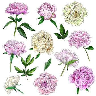 Piwonie i liście, botaniczny zestaw kwiatów i pąków