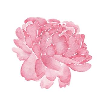 Piwonie różowy kwiatowy akwarela