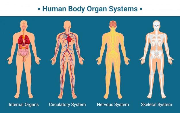 Plakat dotyczący układów narządów ludzkiego ciała