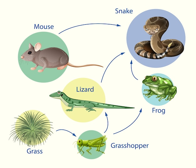 Plakat edukacyjny biologii dla schematu łańcuchów pokarmowych