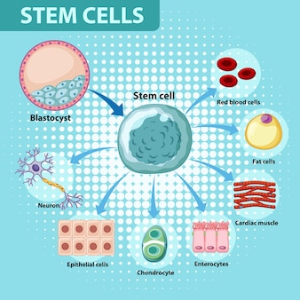Plakat informacyjny na temat ludzkich komórek macierzystych