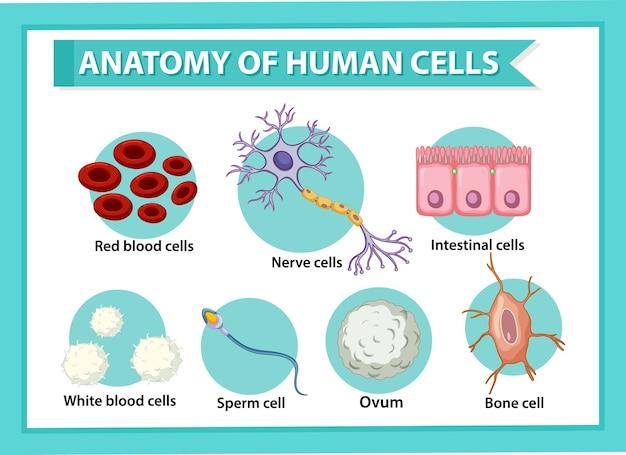 Plakat informacyjny na temat ludzkich komórek