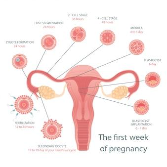 Plakat medyczny o podziale komórek. etapy rozwoju płodu.