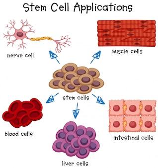 Plakat przedstawiający różne aplikacje komórek macierzystych