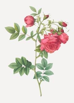 Plakat róża rzepa vintage