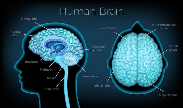 Plakat z ludzkim mózgiem ilustrujący sylwetkę profilu głowy z tekstowym opisem świecących obszarów mózgu