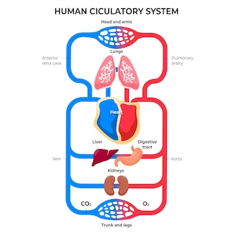 Płaska konstrukcja infografiki układu krążenia