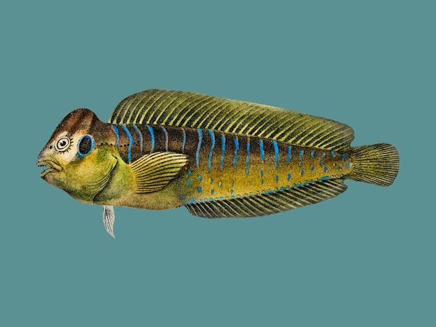 Płetwa szara barwena (mugil cephalus) zilustrowana przez charlesa dessalines d'orbigny (1806-1876).