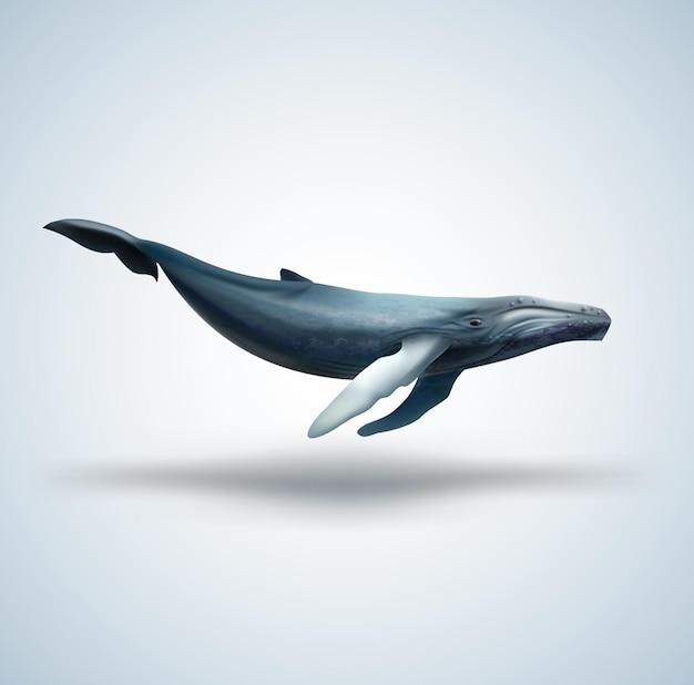 Płetwal błękitny na białym tle