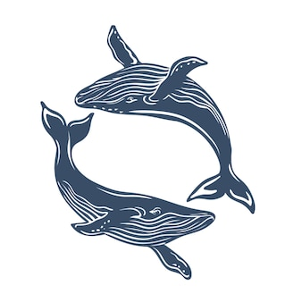 Płetwale błękitne na białym tle