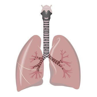 Płuca narząd wewnętrzny człowieka. ludzkie płuca.