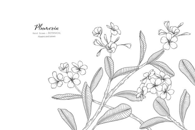 Plumeria kwiat i liść ręcznie rysowane ilustracja botaniczna z grafiką.