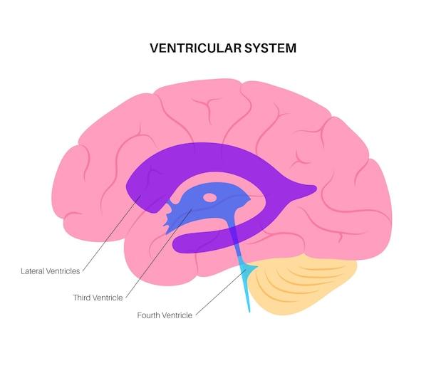 Płyny mózgowo-rdzeniowe w mózgu. anatomia układu komorowego. ilustracja wektorowa komór mózgowych