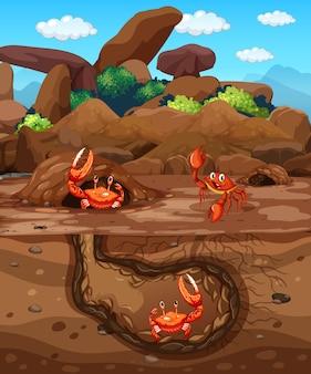 Podziemna nora z wieloma krabami