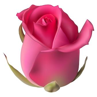 Pojedyncze kwiaty róża na białym tle.