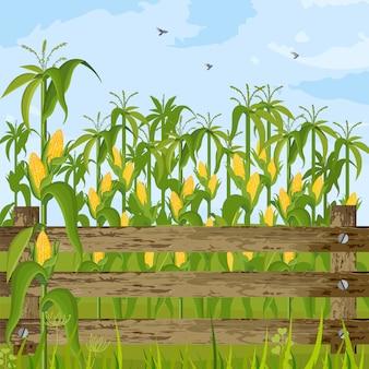 Pole kukurydzy rośnie