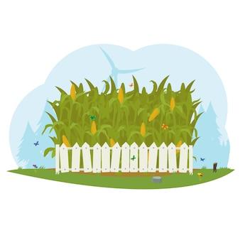 Pole kukurydzy za białym płotem. farma kukurydzy.