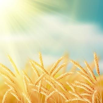 Pole pszenicy kłosy z nieba.
