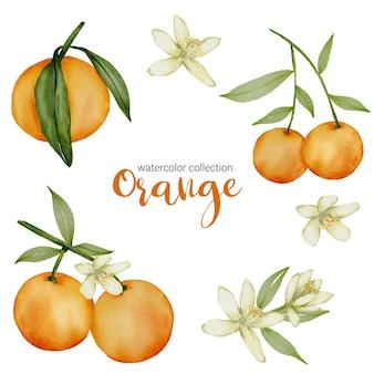 Pomarańcza w kolekcji akwareli, pełna owoców i pięknych kwiatów