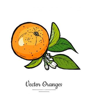 Pomarańcze wektor zestaw na białym tle. cała pomarańczowa mandarynka, plastry, liście kwiatów.