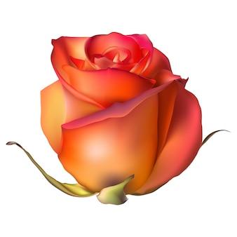Pomarańczowy kwiat róży na białym tle.