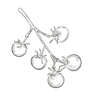 Pomidory czereśniowe na gałąź. vintage rysunek.
