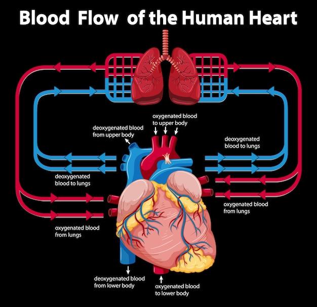 Przepływ krwi w ludzkim sercu