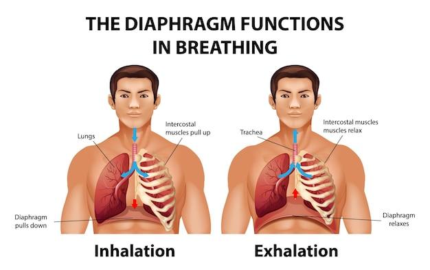 Przepona działa podczas oddychania