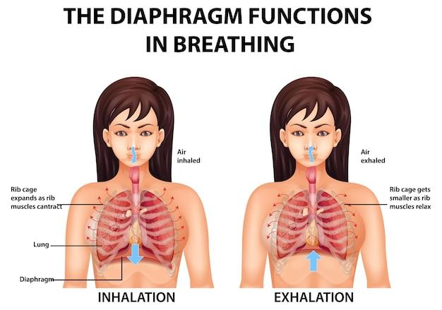 Przepona działa w infografice oddychania