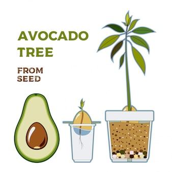 Przewodnik rosnący wektor drzewa awokado. zielona prosta instrukcja uprawy drzewa awokado z nasion. cykl życia awokado.