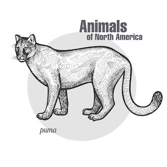 Puma zwierząt z ameryki północnej.