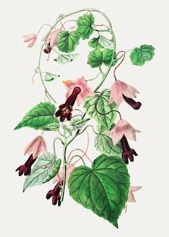 Purpurowy dzwonkowy winograd