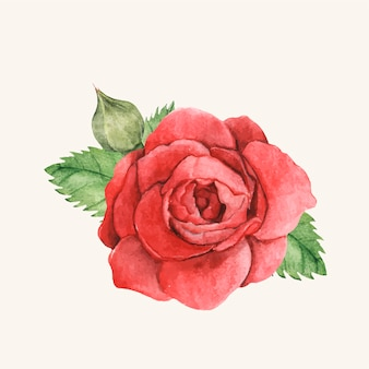 Ręcznie rysowane czerwona róża na białym tle