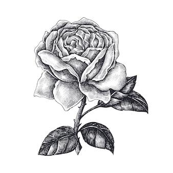 Ręcznie rysowane róża na białym tle