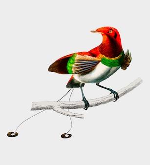 Raggiana bird-of-paradise (paradisaea raggiana) zilustrowana przez charlesa dessalines d'orbigny