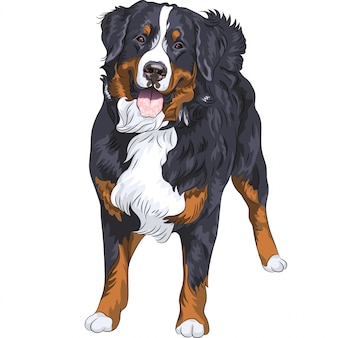 Rasa psa berneński pies pasterski stojący i uśmiechnięty