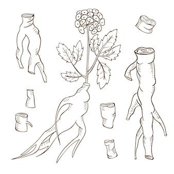 Realistyczna kolekcja roślin żeń-szenia wyciągnąć rękę