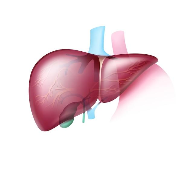 Realistyczna różowawa zdrowa wątroba z przezroczystymi tętnicami z bliska
