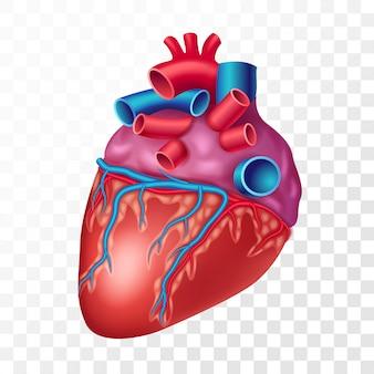 Realistyczne ludzkie serce, na przezroczystym tle. narząd wewnętrzny układu sercowo-naczyniowego realistyczna ilustracja