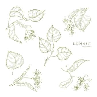 Realistyczne naturalne rysunki liści lipy i pięknych delikatnych kwiatów