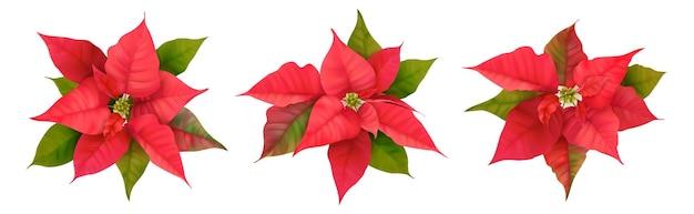 Realistyczne poinsecja 3d wektor kwiaty. zima boże narodzenie kwiat na białym tle na projekt karty, pozdrowienia, noworoczne zaproszenie na przyjęcie świąteczne, okładka szablonu