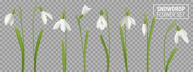 Realistyczny kwiat przebiśnieg ustawiony na przezroczystym tle z izolowanymi realistycznymi obrazami naturalnego kwitnienia z łodygami ilustracji