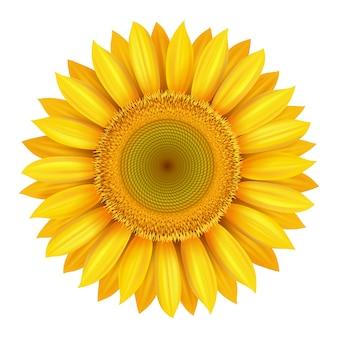 Realistyczny piękny jasny żółty kwiat słonecznika na białym tle