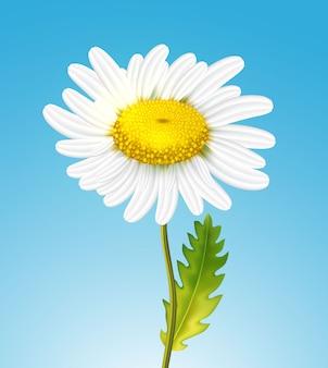 Realistyczny stokrotka kwiat rumianku